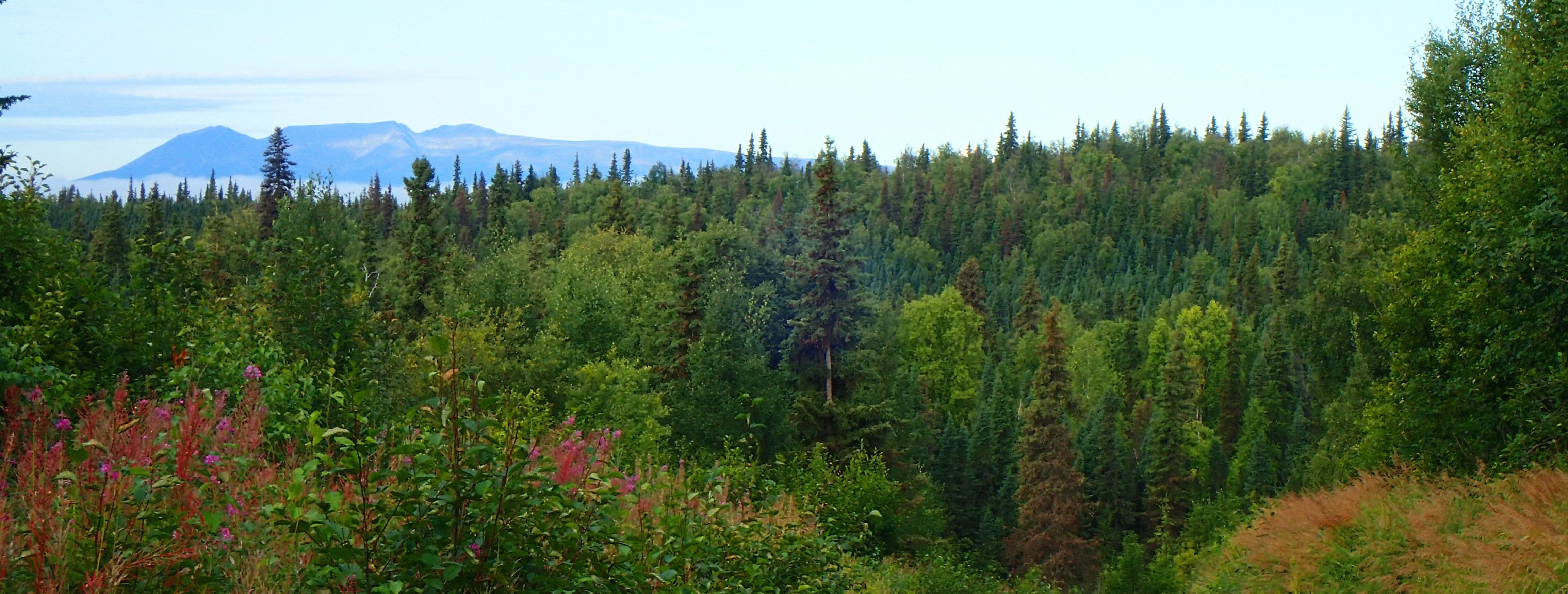 Spruce Beetle in Alaska's Forests